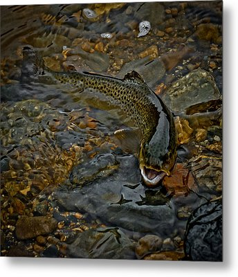 The Brown Trout Metal Print by Ernie Echols