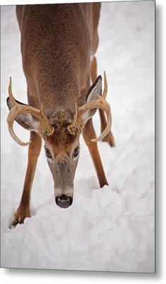 The Buck Stare Metal Print by Karol Livote