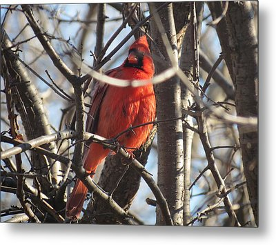 Metal Print featuring the photograph The Cardinal by Nikki McInnes