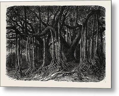 The Great Banyan, Or Sacred Tree Metal Print