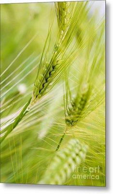 The Green Rye Beautiful Metal Print by Boon Mee