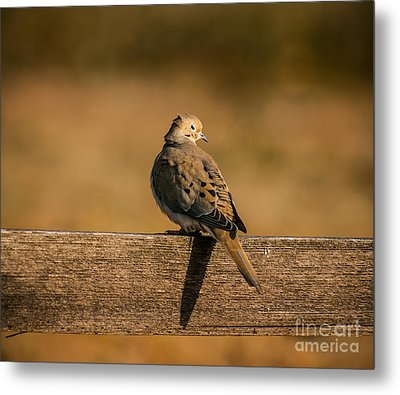 The Morning Dove Metal Print by Robert Frederick