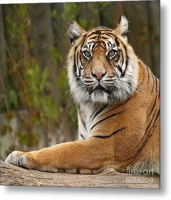 The Siberian Tiger Animal Metal Print by Boon Mee