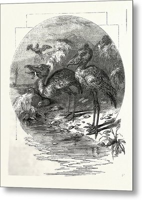 The Whale-headed Stork Metal Print by English School