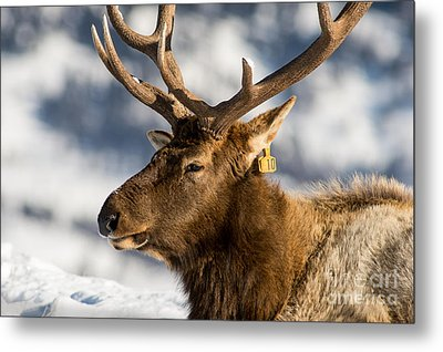 The Yellowstone Elk # 10 Metal Print