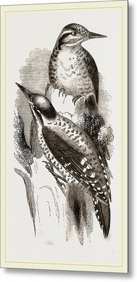 Three-toed Woodpeckers Metal Print by Litz Collection