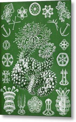 Thuroidea From Kunstformen Der Natur Metal Print