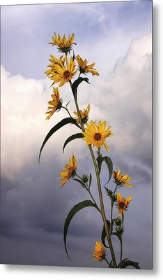 Metal Print featuring the photograph Towering Sunflowers by Rob Graham