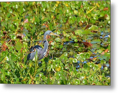 Tri Colored Heron 2 Metal Print
