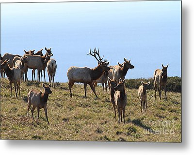 Tules Elks Of Tomales Bay California - 7d21236 Metal Print by Wingsdomain Art and Photography
