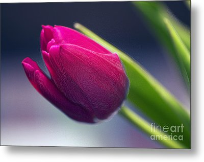 Tulip 2a Metal Print by Sharon Talson