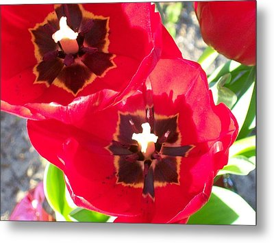 Tulip Harmony Metal Print by Belinda Lee