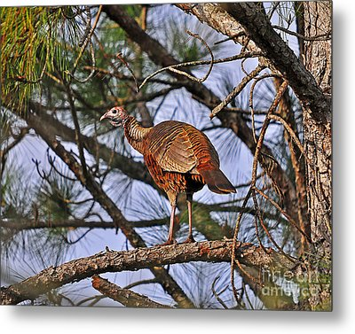 Turkey In A Tree Metal Print by Al Powell Photography USA