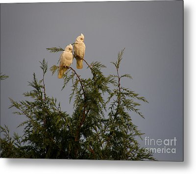 Metal Print featuring the photograph Twin Cockatoos by Bev Conover