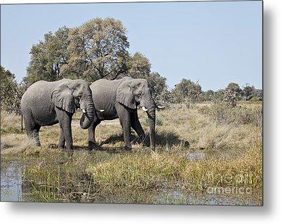 Metal Print featuring the photograph Two Bull African Elephants - Okavango Delta by Liz Leyden