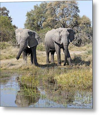 Metal Print featuring the photograph Two Male Elephants Okavango Delta by Liz Leyden