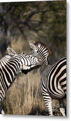 Metal Print featuring the photograph Two Plains Zebra Botswana by Liz Leyden
