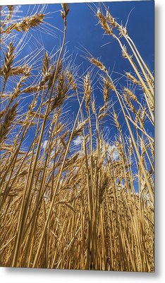 Under The Wheat Metal Print by Rob Graham