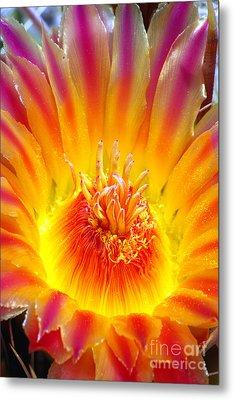 Variegated Barrel Cactus Flower Metal Print by Douglas Taylor