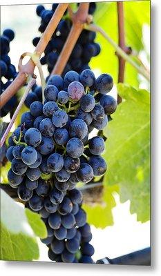 Vineyard Grapes Metal Print by Charmian Vistaunet