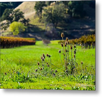 Vineyard Thistles Metal Print by CML Brown