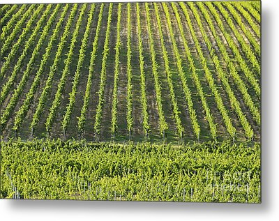 Vineyards In Chianti Region Metal Print by Sami Sarkis