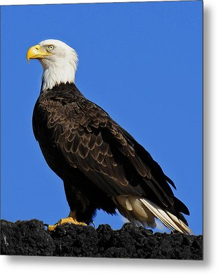 Virginia Bald Eagle Metal Print by Lara Ellis