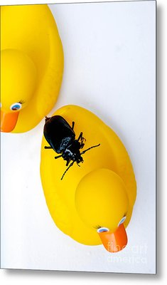 Waterbug On Rubber Duck - Aerial View Metal Print by Amy Cicconi