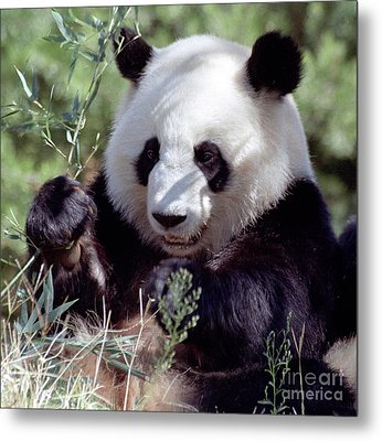 Waving The Bamboo Flag Metal Print by Liz Leyden