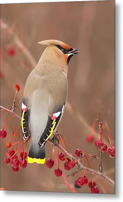 Waxwing In Winter Metal Print by Mircea Costina Photography