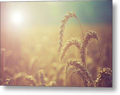Wheat Growing In The Sunlight Metal Print by Wladimir Bulgar