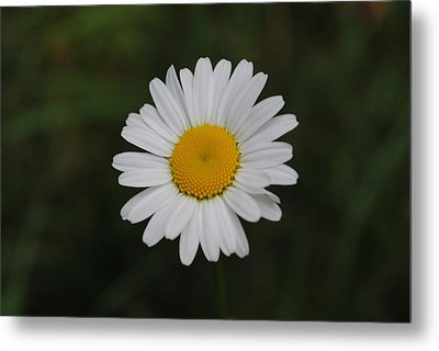 Metal Print featuring the photograph White Daisy by Robert  Moss