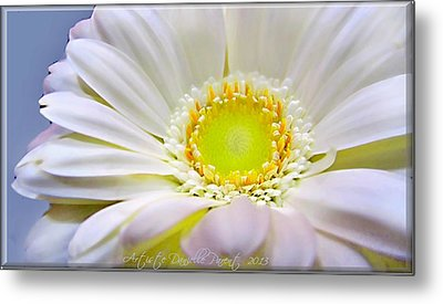 White Gerber Daisy Macro Metal Print by Danielle  Parent