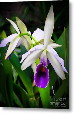 White Orchids Metal Print by Colleen Kammerer