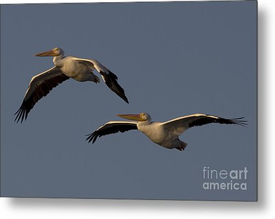 Metal Print featuring the photograph White Pelican Photograph by Meg Rousher