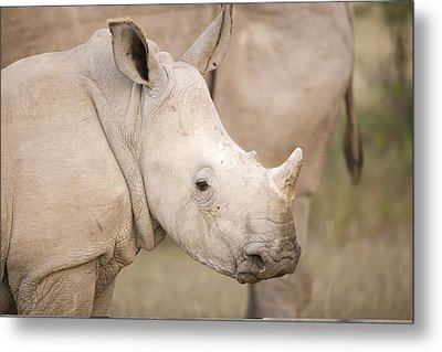 White Rhinoceros Calf Metal Print