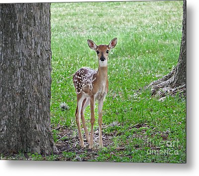 White-tailed Fawn - Face Of Innocence Metal Print