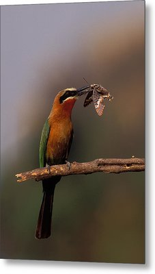 Whitefronted Bee-eater With Butterfly Metal Print