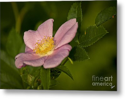 Wild Rose Metal Print by Alana Ranney