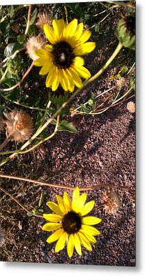 Metal Print featuring the photograph Wild Sunflowers by Fortunate Findings Shirley Dickerson