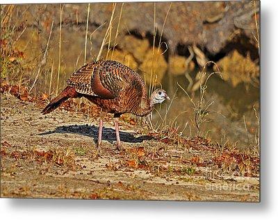 Wild Turkey Metal Print by Al Powell Photography USA