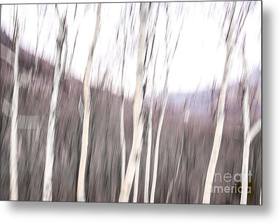 Winter Birches Tryptich 2 Metal Print by Susan Cole Kelly Impressions