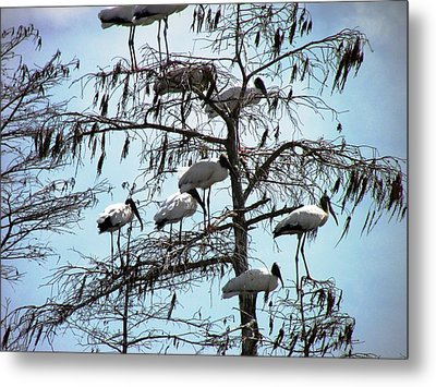 Wood Storks Metal Print by Will Boutin Photos