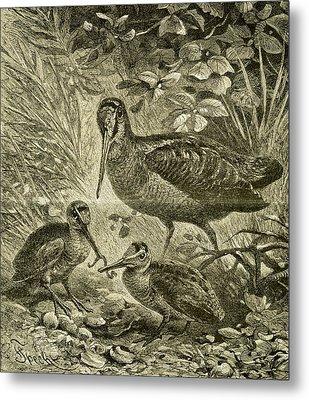 Woodcock Austria 1891 Metal Print by Austrian School