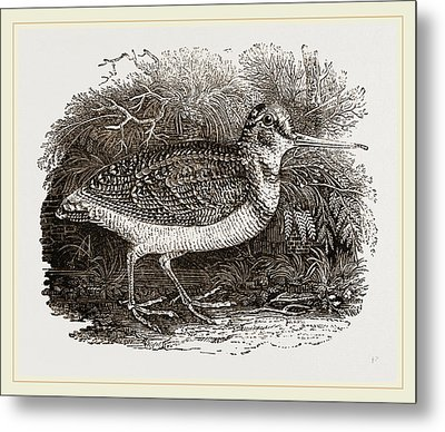 Woodcock Metal Print by Litz Collection