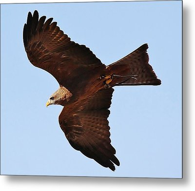 Yellow Billed Kite In Flight Metal Print by Paulette Thomas