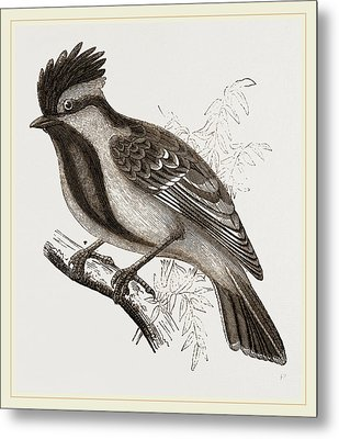 Yellow-cheeked Titmouse Metal Print by Litz Collection