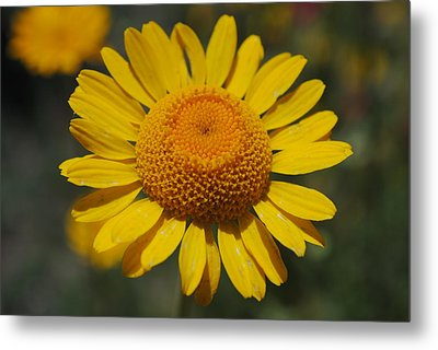 Metal Print featuring the photograph Yellow Daisy  by Robert  Moss