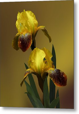Yellow Iris Metal Print by Judy  Johnson