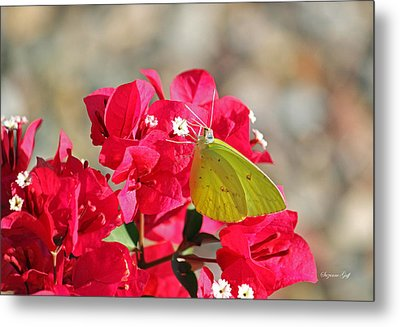 Yellow On Fuschia Metal Print by Suzanne Gaff
